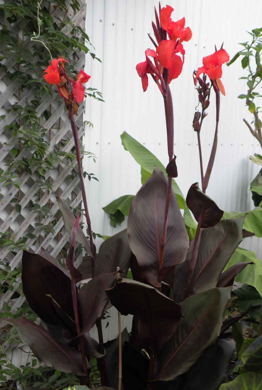 Brugmansia Quebec Catalog Canna Lily