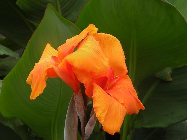 Brugmansia qubec catalog canna lily orange punch green leaves large orange flowers mightylinksfo