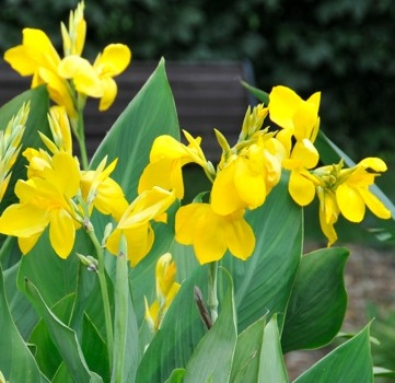 Brugmansia qubec catalog canna lily mightylinksfo
