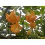 Brugmansia 'Wuppergold'